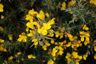 Yellow thorn flower2